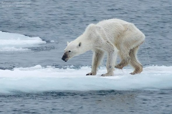 Polar Bears Could Go Extinct